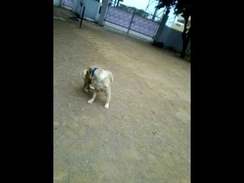 Dog biting its own tail