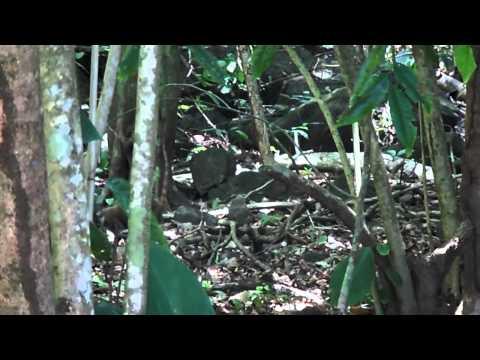 Coatí en el Parque Nacional Corcovado, Costa Rica