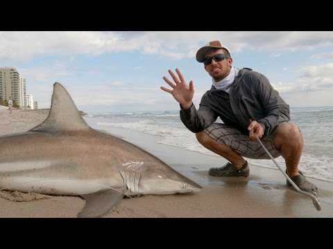 Fishing for Blacktip Sharks with Sunsect - 4K
