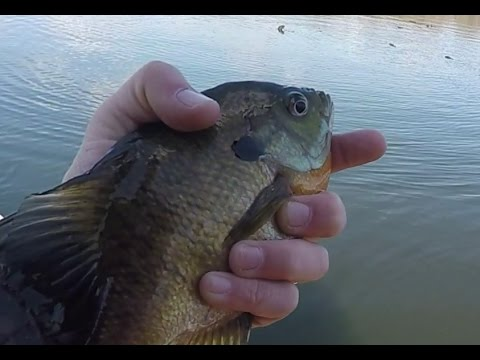 Early April - Cold Water Spring Crappies & Bluegills 4/3/16 iFishMN Video