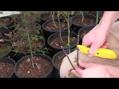 Grafting Red Leaf Japanese Maples