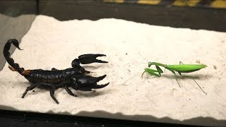 Download BRUTAL FIGHT OF THE MANTIS AND SCORPION - VERSUS OF THE MANTIS - THE AGAMA ATE THE LOCUST! Video