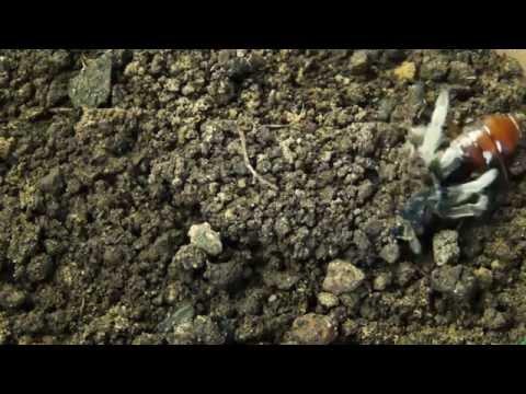 Trapdoor tarantula catching roach