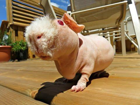 Shaking Out & Washing Fleece: Guinea Pig Bedding