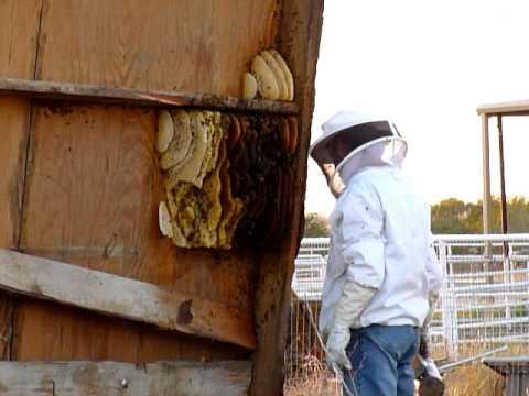 'killer bees,'