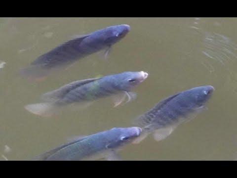 পুকুরে তেলাপিয়া মাছ চাষ ও তেলাপিয়া মাছের বুঁদ বুঁদ খাওয়ার ভিডিও | Tilapia Fish Farming in Pond
