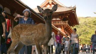 Nara Deer visit the temple - Japan: Earth