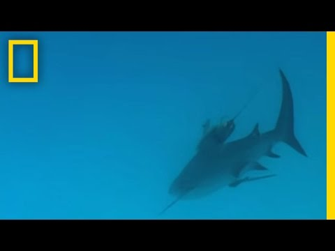 Bull Sharks   National Geographic