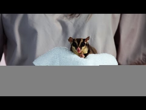 Why Sugar Gliders Are Illegal in Places | Sugar Gliders