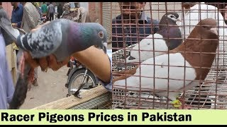 karachi pigeons market Videos - 9tube tv