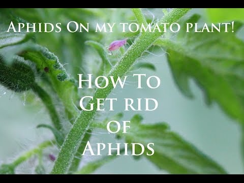 How To Get Rid Of Aphids On Your Tomato Plants-Homemade Insecticidal Soap-Cheap And Easy