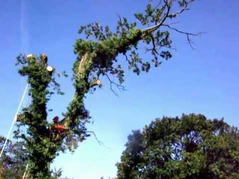 Extreme pruning of huge oak tree limb