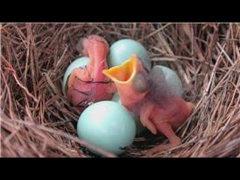 Bluebirds : How Long Does It Take for Bluebirds to Hatch?