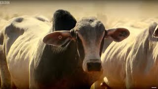 Top Gear Vs 4,000 Cows  - Top Gear - Series 22 - BBC