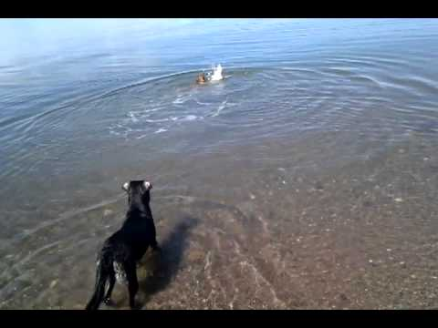 Boxer dog tries to fetch a stick in the water, halarious swimming technique
