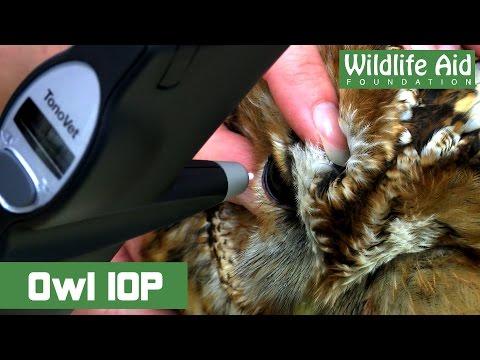 TONOVET testing on a owl with head trauma