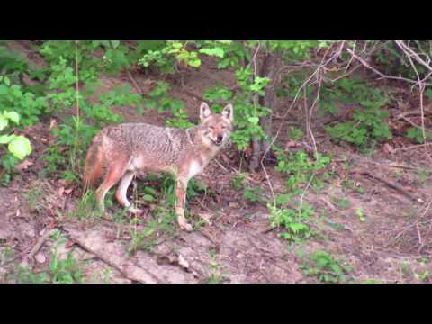 Persistent Coyote to match with the Snapping Turtle