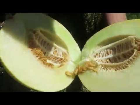 How to pick a PERFECT Honeydew!
