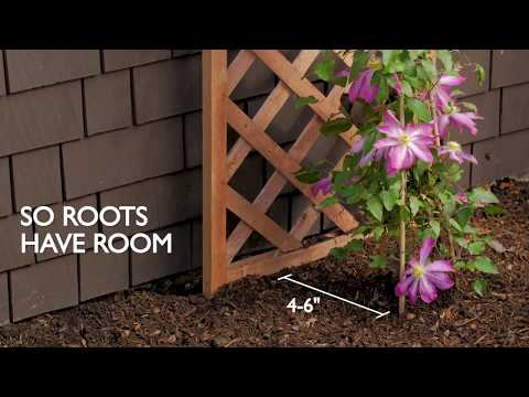 3 Ways to Train & Grow Clematis