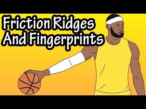 Friction Ridges - What Are Friction Ridges - Fingerprints - What Are Fingerprints