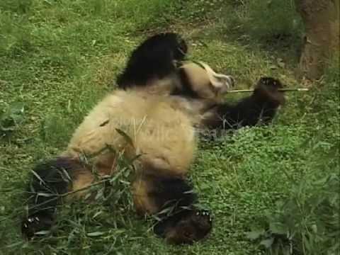 Giant Panda Bear Eats Bamboo