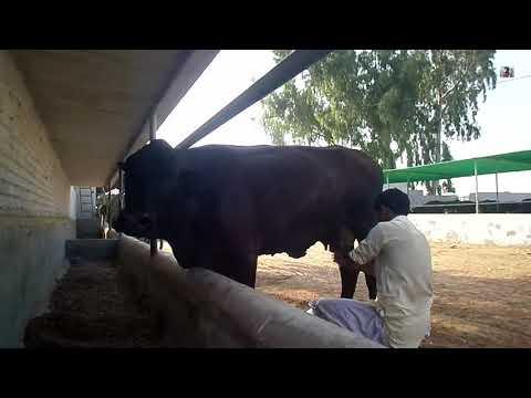 How to get milk from cow in Pakistan | Australian Cross Breed 30 ltr Milk a day | sabir ali