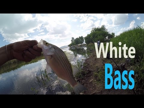 Utah lake: white bass fishing with spinners and jiggs: how to catch white bass
