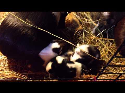 newborn baby guinea pigs p.2