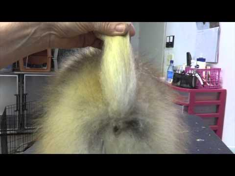 Grooming the Show Pomeranian (part two)