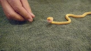 Tiny Snake Eats an Egg || JukinVideo Clip of the Week