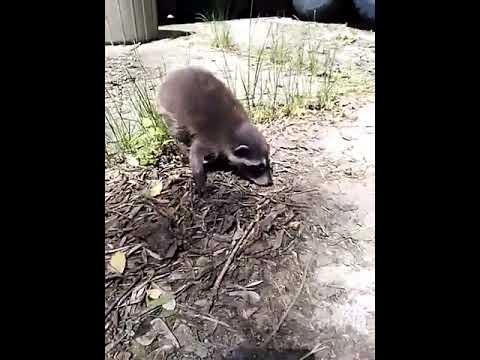 A baby raccoon I found