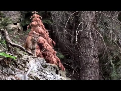 Backpackers film mountain lion in Sequoia National Forest