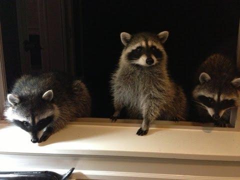Cute Baby Raccoons Waving