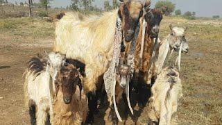 Antique Tapri Goats