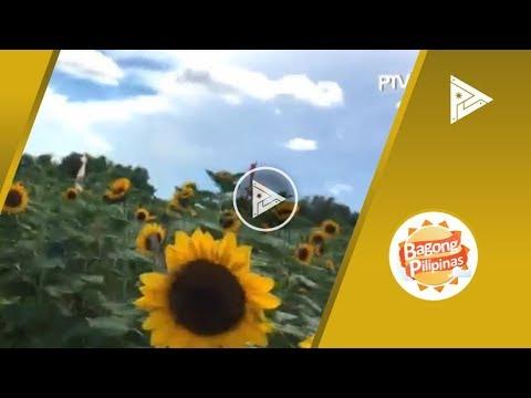 TRIP TICKET: Sunflower maze sa Tayug, Pangasinan