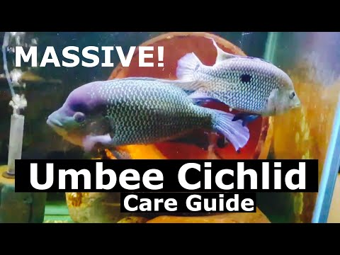 Umbee Cichlid Care - Aggression, Size, Mates