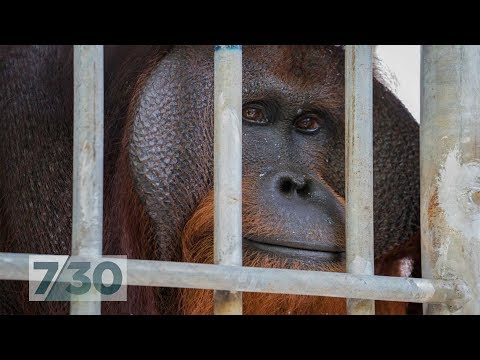 Xxx Mp4 For Six Years This Orangutan Lived In A Tiny Cage Now He 39 S Nearly Free 7 30 3gp Sex