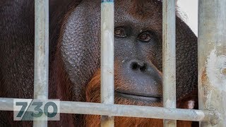 For six years this orangutan was locked in a tiny cage, now he
