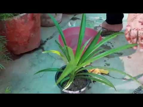 How to Clean Leaves of Plants || How make your Plants Shine || Fun Gardening || 22 Oct, 2017