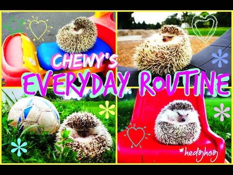 Chewy's Everyday Routine | Hedgehog Edition
