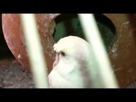Crusted Red eyes parrots breeder pair 03459442750 Zain Ali farming in Pakistan