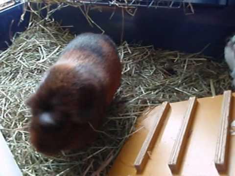 Horny female guinea pigs