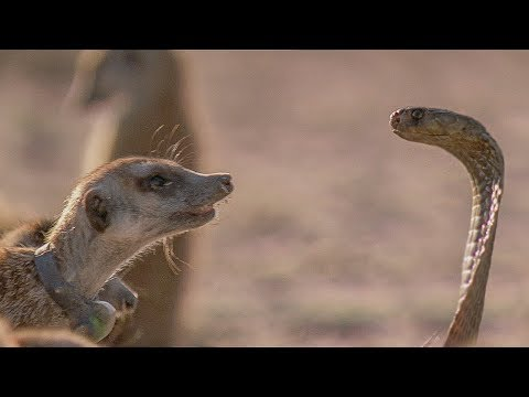 Meerkat Family Faces Off with Cobra | BBC Earth