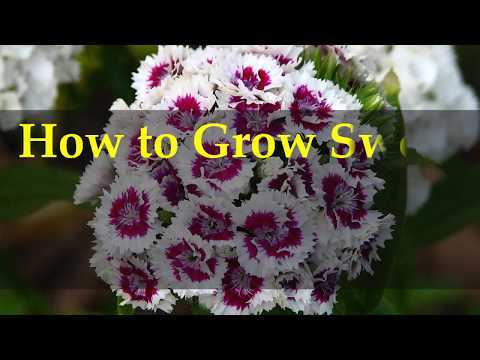 How to Grow Sweet William Plants at Home