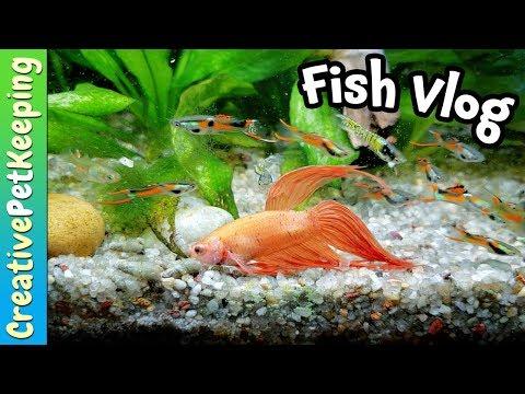 Do betta fish like to SWIM? | THE LAST Vlog