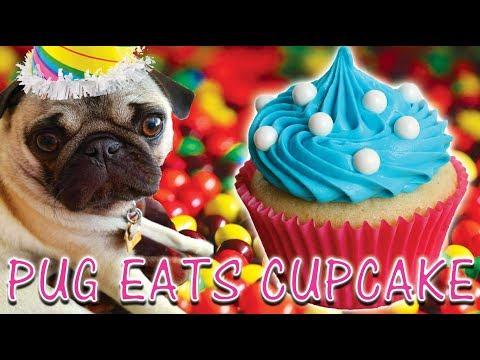 Pug Eats Cupcake!