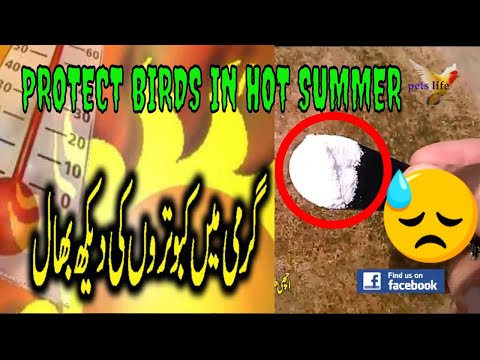 How to Protect Your Pigeons From The Hot Weather/Changing Weather   Pigeon summer tips  2018