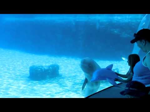 Baby Beluga Whale playing with Blowup Dolphin