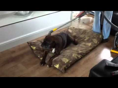 Dry cleaning boxer dog
