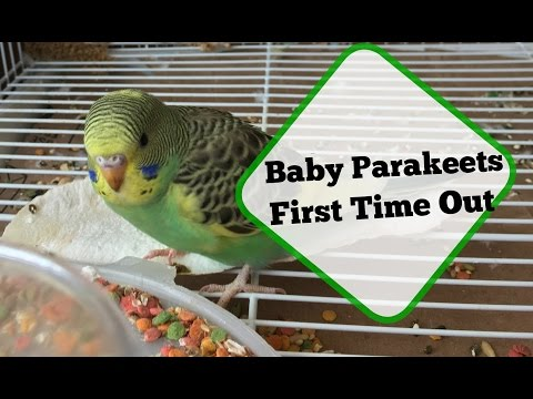 First Time Out Of The Nest / Parakeet Breeding Update